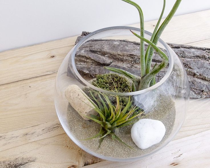 Terra Dust #Tillandsia #Airplants #Design #Tropical #Forest #Collection