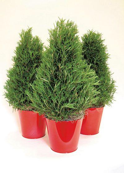 Grow an Evergreen Thumb: Tips to Keep Holiday Plants Alive ...