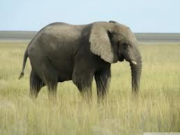 African Elephants, And Their Struggle To Survive Against Poachers And The Illegal Ivory Trade.
