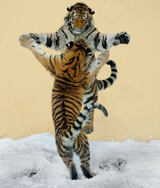 "2 siberian tigers by Jutta Kirchner.  ""So I got out my camera and decided to take some pictures. But at the moment I took the photos it looked like they were dancing. One of them rose up on his hind legs and the other one did the same. Their paws met and it looked like they were dancing ballroom style."""