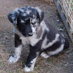 OMG I want him!!!!!!!  Phantom is an adoptable Catahoula Leopard Dog Dog in Plum, PA. This is one of a litter of pups we had born here to a very young mom. Their mom, named Tiki was only 6 months old when she became pregnan...