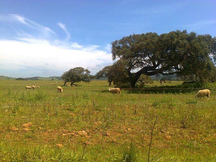 Rebanho de ovelhas no pasto - Alentejo  - Portugal
