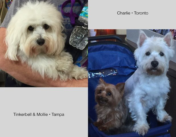 Everyone's welcome at the Savannah Visitor Center on MLK. These three guys brought their people with them. Left is Charlie, a Cotton de Toulear, rare breed from Madagascar c currently learning to love Hockey in Toronto. Right is Tinkerbell the tiny Yorkie and Mollie, a Westie. They're from Tampa. Great faces show up at the Visitor Center.