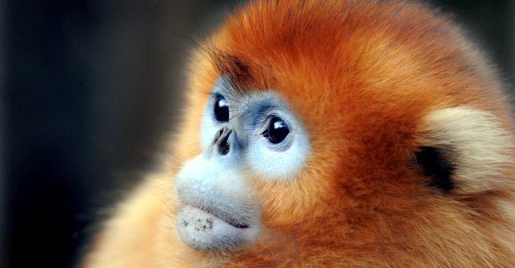 Macaco-dourado passeia por reserva natural, na China