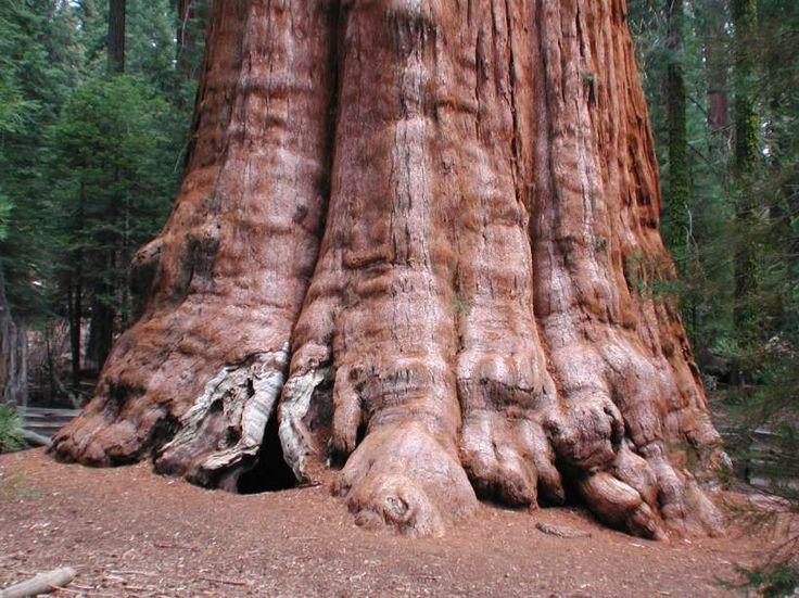 Największe drzewo świata ma 83,8 m wysokości i 31,3 m obwodu. Ponadto ma około 2500 lat!