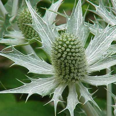 If you want to add contrast to a flowerbed or to fresh or dried flower arrangements, the dramatic spiky Sea Holly (Eryngium) plant is a great choice.   Photo: Kurt Stueber   thisoldhouse.com