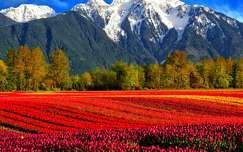 Tulipánmező, hegy, tavasz, Brit-Kolumbia, Kanada
