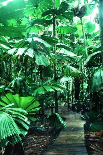 The Maardja Boardwalk in the rainforest in the Daintree National Park offers views of the many fan palms. #queensland
