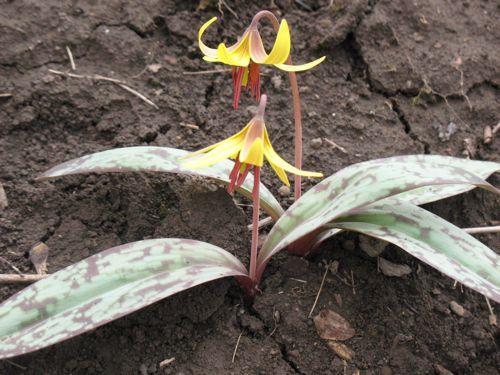 英語名:Trout lily, Yellow trout lily, Yellow dogtooth violet 学名:Erythronium americanum 和名:黄花カタクリ(勝手命名) エスペラント名:Amerika Eritronio (laŭ mi)