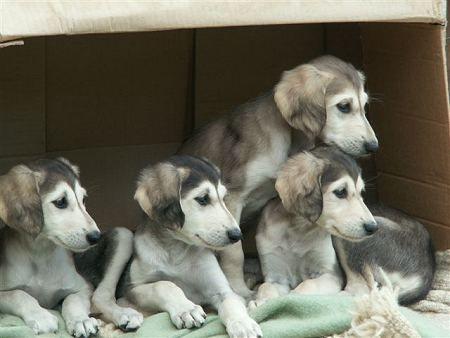 Saluki Puppies