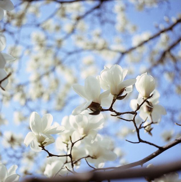 Magnolia - balsam for sjelen