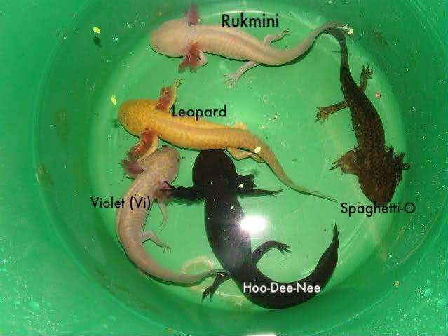 Axolotl Colours Axolotl Salamanders Axolotl Rare