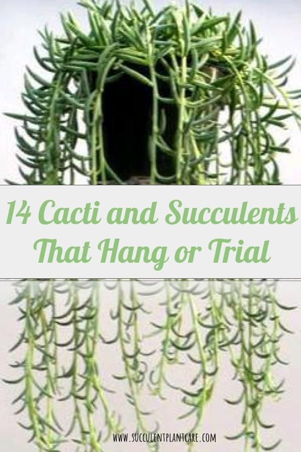 14 Eye Catching Cacti And Succulents That Hang Or Trail With Images Succulents Hanging Plants Outdoor Cacti And Succulents