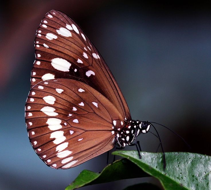 Euploea Core Butterfly
