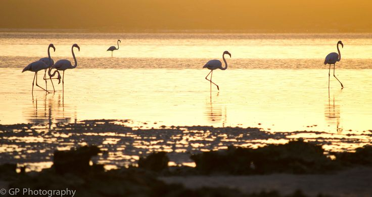 Flamingoes in first light