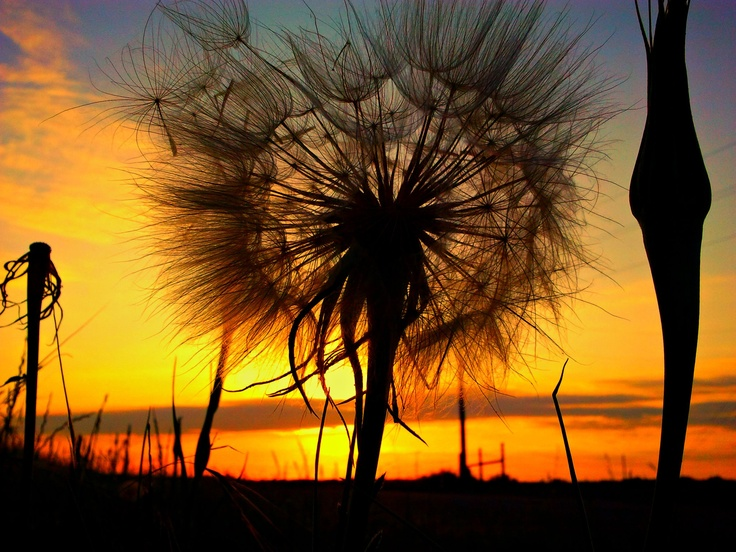 dandelion sunset related keywords - photo #20