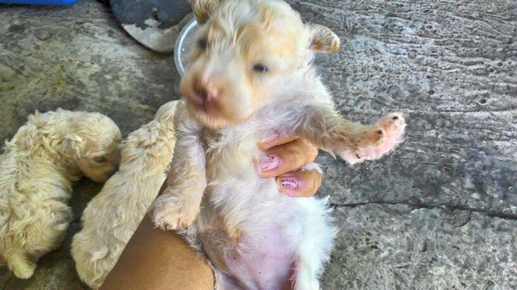 Bayi toy poodle usia 2 mg