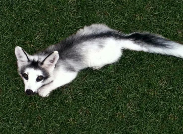 Another domestic silver fox.