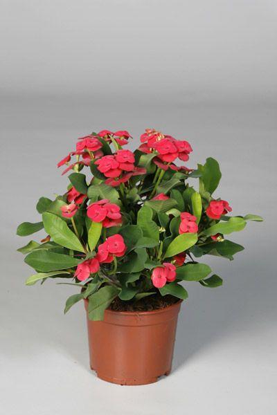 Euphorbia Millii Dikenler Tacı Aşılı Kaktüs, 10-15 cm, KARGO BEDAVA, Saksıda - Fidan Satışı, Fide Satışı, internetten Fidan Siparişi, Bodur Aşılı Sertifikalı Meyve Fidanı Süs Bitkileri