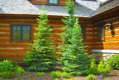 evergreen landscaping ideas | Evergreens