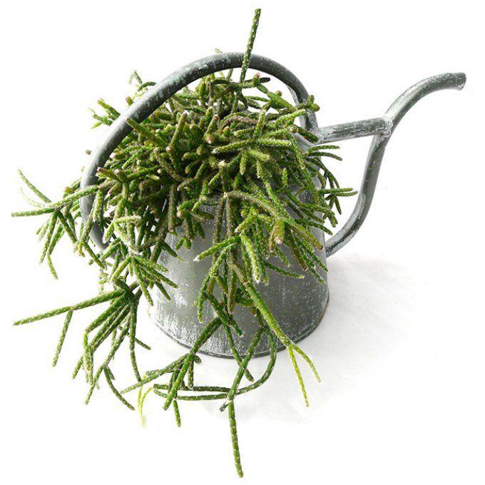L'Arrosoir Chevelu : rhipsalis et arrosoir - plantes grasses - idée déco originale