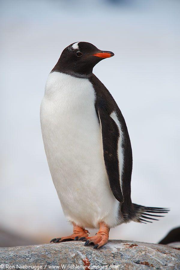 Gentoo Penguin by Ron Niebrugge