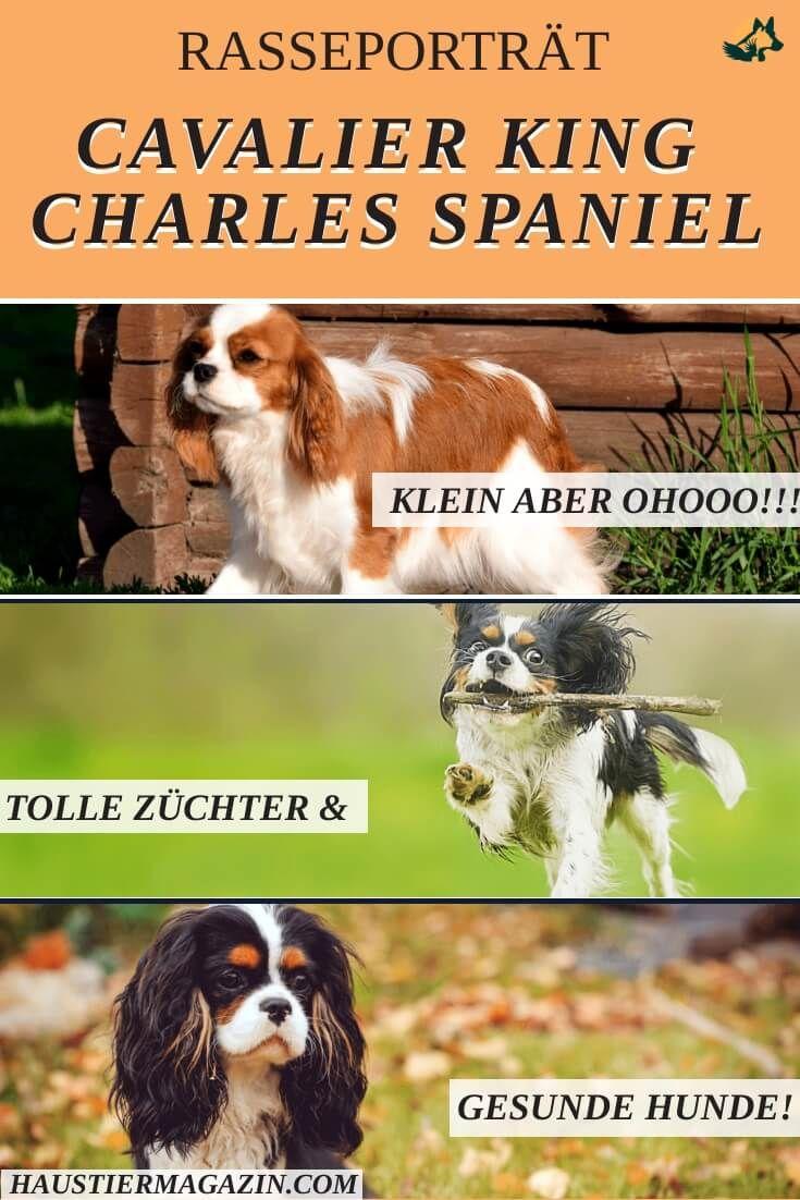 Cavalier King Charles Spaniel Steckbrief Fci Klasse Mehr King Charles Spaniel Cavalier King Charles Spaniel Hunderassen
