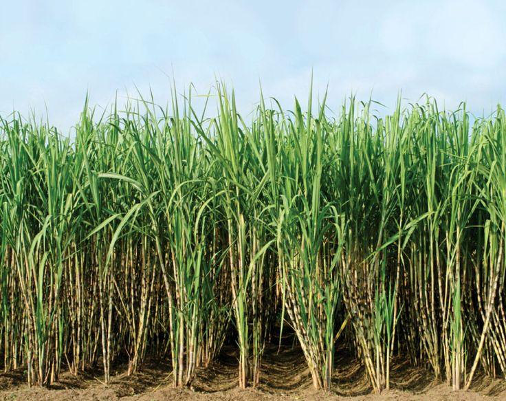 Sugarcane : Health Benefits Of Eating Sugarcane And Drinking It's Juice « Bliss Returned