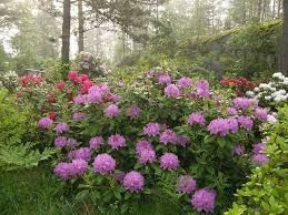 rhododendron catawbiense - Google Search