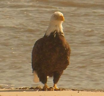 ... Eagle On The Beach At East Point, Heislerville (Cumberland County), NJ