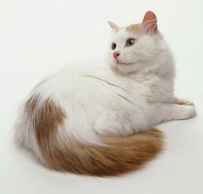 Turkish Van cat. My favourite breed. I had one once... and hope to have another in the future.