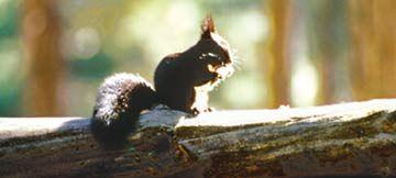 IL simpatico ospite del Parco Nazionale della Sila: lo scoiattolo nero, caratteristico della Sila