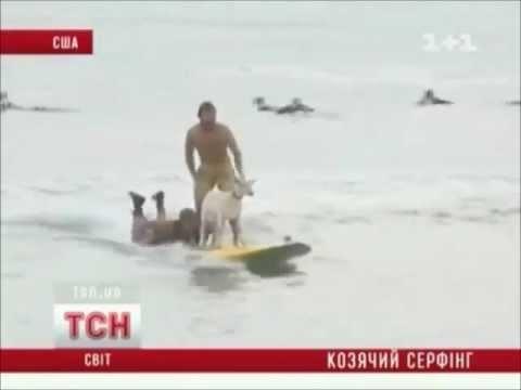goats are a surfer Козлята серфингисты