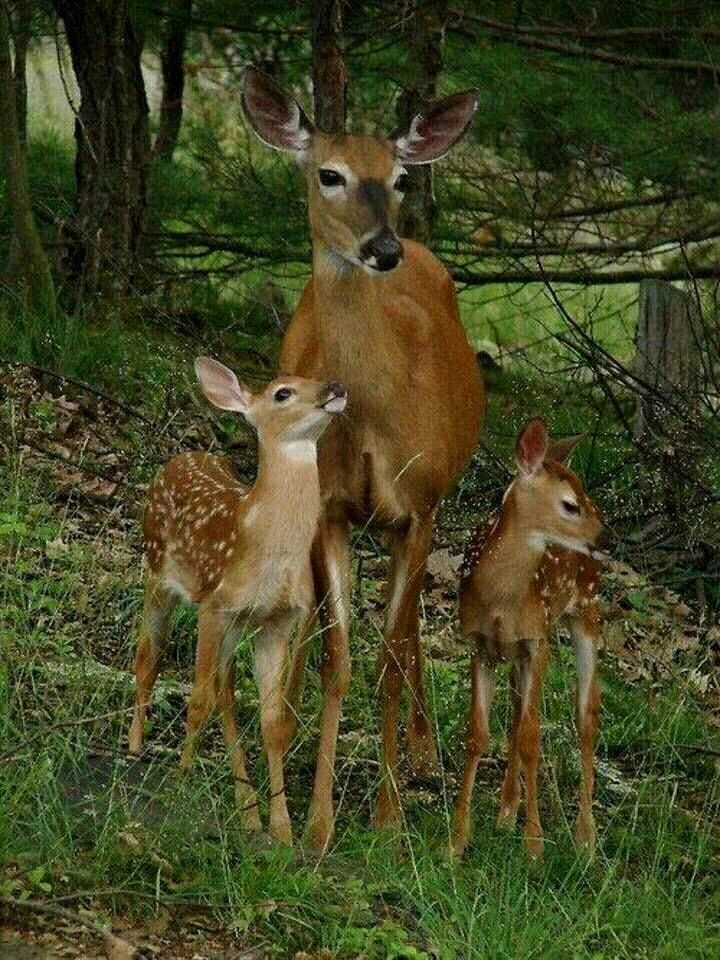 Deers Cutest Wild Animals #wildlife #romania #forest #woods #outdoors  #nature #photos #photography #cuteanimals #beaut… | Cute wild animals,  Animals, Forest animals