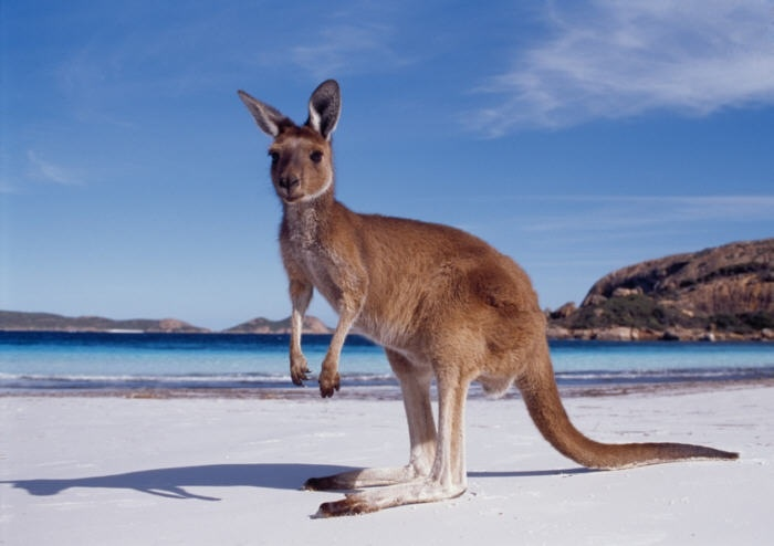Kangaroo on the beach in Esperance , WA