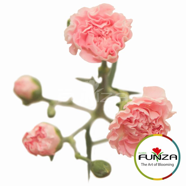 Pink Spray Carnation from Flores Funza. Variety: Roxanne. Availability: Year-round.