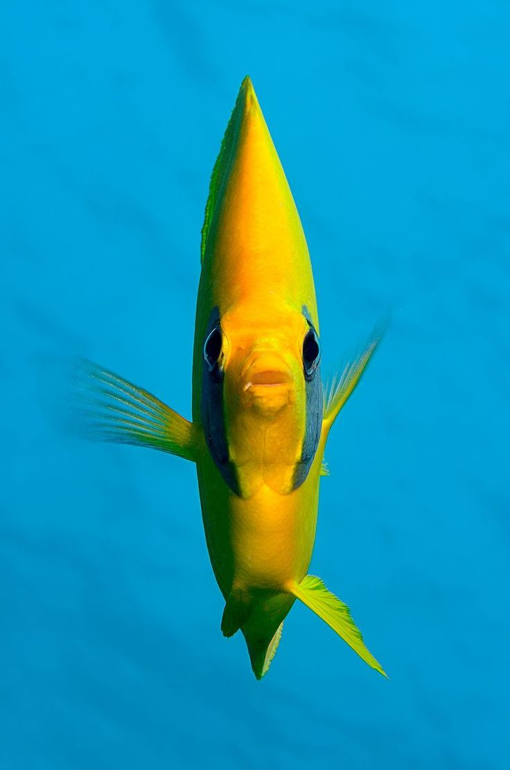 90 best butterfly fish images on pinterest aquarium ocean and