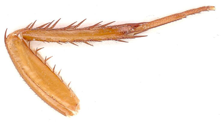 leg of corkroach