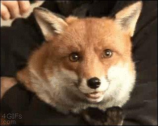 Looking Foxy