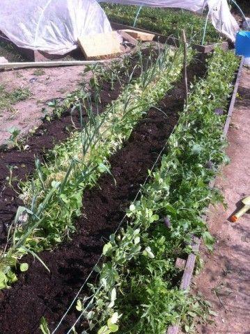 Kertészkedő sorozatunkban a borsó titkait fedjük fel.