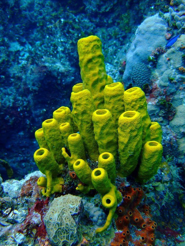 Aplysina fistularis ou Éponge tuyau d'orgue est une espèce d'éponge de la famille des Aplysinidés. On en croise au Mexique.