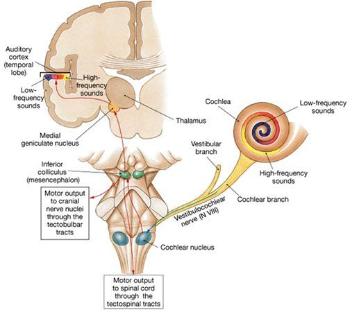 9 best Audiology images on Pinterest | Anatomy and physiology, Human ...
