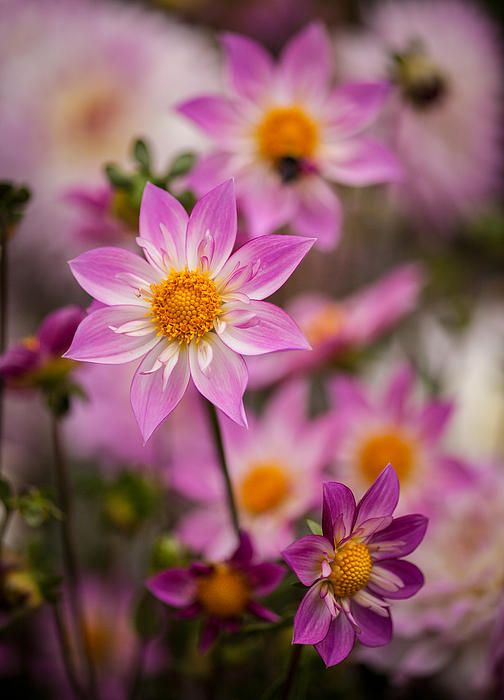 Pink Dahlias by Mike Reid