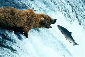 Email Marketing the right way means you will never go hungry. The Real How To at: http://mywealthyweb.com/free  Grizzly bear catching salmon - Bing Images
