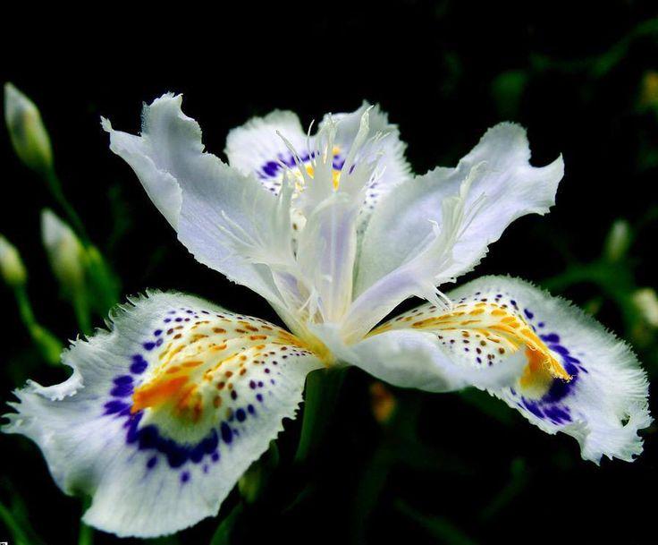 #MundoKuera  Kuera Verbenas: La flor que faltaba en tu jardín...  Iris Japónica
