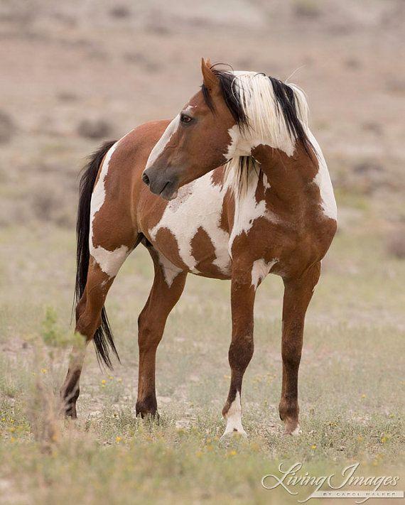 Picasso Turns  Fine Art Wild Horse Photograph door WildHoofbeats, $35.00