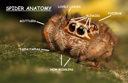 proper jumping spider anatomy chart