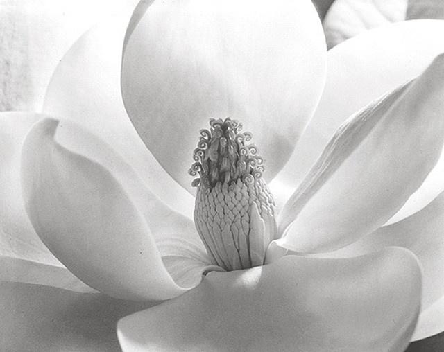 Imogen Cunningham -- Magnolia Blossom, 1925