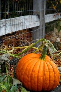Harvesing pumpkins: fruit is ripe when fully colored, skin is hard and the stem begins to shrivel and dry. Cure outdoors for about 2 weeks before storing.
