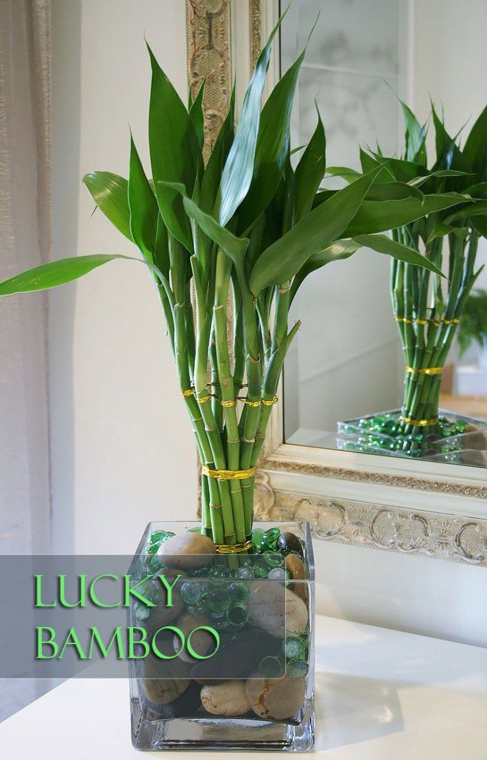 How To Grow And Shape Lucky Bamboo With Images Bamboo Plants